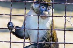 Животное орангутана обезьяны Стоковые Изображения