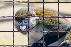 Животное орангутана обезьяны Стоковые Фотографии RF