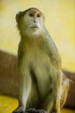 Животное орангутана обезьяны Стоковое Изображение RF