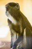 Животное орангутана обезьяны Стоковое Фото