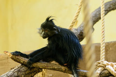 Животное орангутана обезьяны Стоковая Фотография