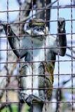 Животное орангутана обезьяны Стоковое Изображение