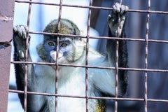 Животное орангутана обезьяны Стоковые Изображения RF