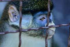 Животное орангутана обезьяны Стоковая Фотография RF