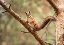 животное одичалое Красная белка в парке осени Стоковая Фотография RF