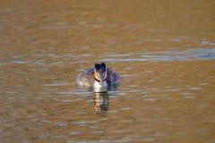 Животное одичалое cristatus поганки птицы плавая на воду Стоковое Изображение