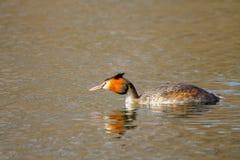 Животное одичалое cristatus поганки птицы плавая на воду Стоковое Изображение RF