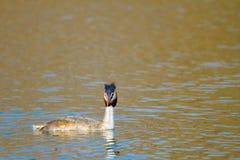 Животное одичалое cristatus поганки птицы плавая на воду Стоковые Изображения RF