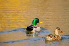 Животное одичалый селезень и утка плавает на пруде Стоковые Изображения