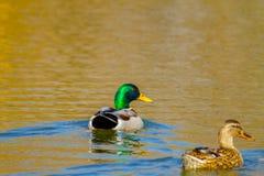Животное одичалый селезень и утка плавает на пруде Стоковые Фото