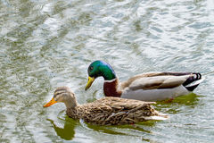 Животное одичалый селезень и утка плавает на пруде Стоковое Изображение RF