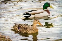 Животное одичалый селезень и утка плавает на пруде Стоковые Фотографии RF