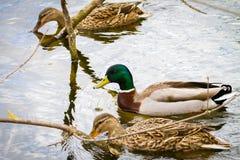 Животное одичалый селезень и утка плавает на пруде Стоковая Фотография