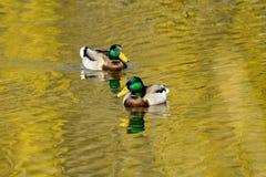 Животное одичалый селезень плавает на пруде Стоковая Фотография