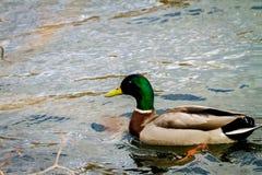 Животное одичалый селезень плавает на пруде Стоковые Изображения RF