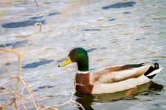 Животное одичалый селезень плавает на пруде Стоковые Фото