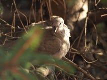 Животное птицы голубя черепахи Стоковые Фотографии RF