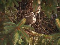 Животное птицы голубя черепахи Стоковое Изображение RF