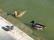 Животное птицы дикой утки кряквы Стоковые Фото