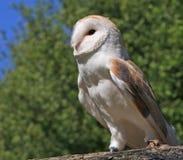 Животное птицы сыча стоковое изображение