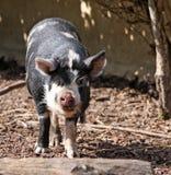 Животное свиньи Kune Kune стоковые изображения