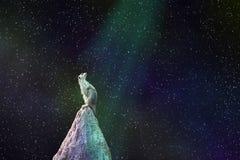 Животное суслика сидя поверх взглядов насыпи на sta ночи стоковая фотография rf