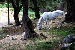 Животное с уздечкой одной в древесинах Белая лошадь пася в заросшей лесом области Темное старое дерево вокруг конематки пакостный стоковое фото
