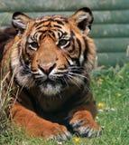 Животное тигра   Стоковое Фото