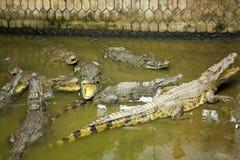 Животное туристских людей подавая, ферма крокодила, Вьетнам Стоковое Изображение RF