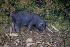 Животное хряка млекопитающееся в лесе Стоковые Изображения