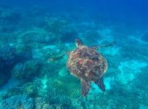 Животное черепахи в одичалой природе Стоковые Изображения