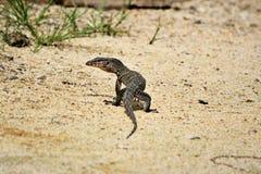 Животное ящерицы стоковая фотография rf