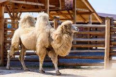 Животное Bactrian верблюда Стоковые Изображения
