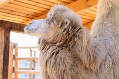 Животное Bactrian верблюда Стоковое Фото