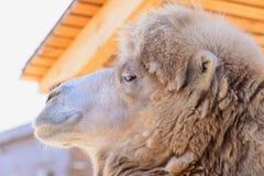 Животное Bactrian верблюда Стоковые Изображения RF
