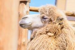 Животное Bactrian верблюда Стоковое фото RF