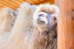 Животное Bactrian верблюда Стоковое Изображение