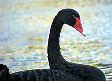 животное blackswan Стоковые Изображения RF