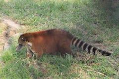 Животное ` Coatà ` млекопитающееся Америки Стоковые Фотографии RF