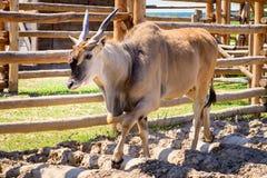 Животное eland антилопы Стоковые Фотографии RF