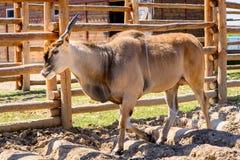 Животное eland антилопы Стоковое Изображение RF