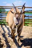 Животное eland антилопы Стоковые Изображения