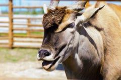 Животное eland антилопы Стоковые Изображения RF