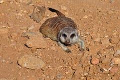 Животное Meerkat Стоковое Изображение