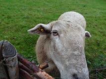 Животное Scheep Стоковое Изображение RF