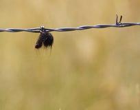 Животные волосы на проводе колючки Стоковая Фотография