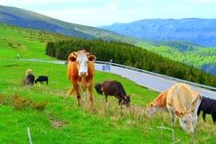Животные в живописных горах Стоковое фото RF