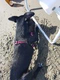 Животные животного fêmea cachorro влюбленности собаки Стоковое фото RF