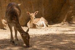 Животные зоопарка в зоопарке Лимасола паркуют, Кипр Стоковая Фотография
