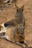 Животные зоопарка в зоопарке Лимасола паркуют, Кипр Стоковое Фото
